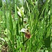 Hummel-Ragwurz (Ophrys holosericea)