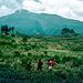 Pyrethrum Plantagen an den Virunga Vulkanen