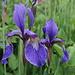 Iris sibirica.