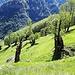 """<b>Un castagno è considerato """"monumentale"""" quando la circonferenza del tronco supera 7 m.</b>"""