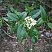 Ligustrum vulgare L.<br />Oleaeceae<br /><br />Ligustro comune<br />Troène vulgaire<br />Rainweide, Gemeiner Liguster