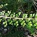 Cotoneaster horizontalis Decne.<br />Rosaceae<br /><br />Cotognastro orizzontale<br />Cotonéaster horizontal<br />Korallenstrauch, Fächer-Steinmispel<br />