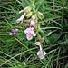 Melittis melissophyllum L.<br />Lamiaceae<br /><br />Erba limona comune<br />Mélitte à feuilles de mélisse<br />Immenblatt, Waldmelisse
