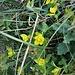 Lysimachia nummularia L. Primulaceae  Mazza d'oro minore Herbe aux écus, Lysimaque nummulaire Pfennigkraut, Münz-Gilbweiderich