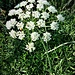 Daucus carota L.<br />Apiaceae<br /><br />Carota selvatica<br />Carotte sauvage<br />Rüebli, Wilde Möhre, Kartotte, Wilde Rübe