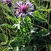 Centaurea montana L.<br />Asteraceae<br /><br />Fiordaliso montano<br />Centaurée des montagnes<br />Berg-Flockenblume