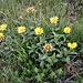 Hinula hirta L.<br />Asteraceae<br /><br />Inula scabra<br />Inule hérissée<br />Rauer Alant