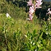 Il costone che scende dal Chiusarella a Pian Valdes è letteralmente ricoperto da una fantastica fioritura di Dittamo.