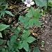 Geranium nodosum L.<br />Geraniaceae<br /><br />Geranio nodoso<br />Géranium noueux<br />Knotiger Storschnabel