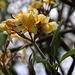 Duftende Frangipani (Plumeria obtusa).