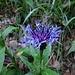 Bergflockenblume an der Vorderen Töss