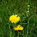 eine von vielen gelben Blüten