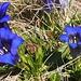 Wiese mit stängellosem Enzian (Gentiana acaulis) oberhalb der Alp