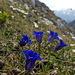 Auch der Enzian steht in voller Blüte