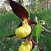 Frauenschuh (Cypripedium calceolus)