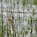 Was für ein Tier das Wasser im oberen Bild-Drittel so in Wallung gebracht hat, konnte ich leider nicht sehen. Ein Krokodil war's höchstwahrscheinlich nicht. Der Fang eines 2,45 m langen Wels mit 100 kg  Gewicht diese Woche in Fußach/Vlbg. zeigt, dass es auch große Fische im Bodensee gibt.
