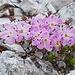 Die Zwerg-Alpenrosen  blühen