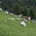 Ziegen auf der Alp Tsuatsau Dessous