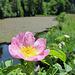 Eine wilde Rose am Farenbühlweiher.