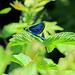 Eine blaue Libelle.