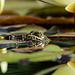 Ein Frosch im Seerorenteich.