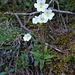 Das Alpenfettblatt, eine Insekten fressende Pflanze