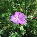 Blutroter Storchschnabel (Geranium sanguineum)