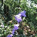 Pfirsichblättrige Glockenblume (Campanula persicifolia)