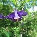 Gemeine Akelei (Aquilegia vulgaris)