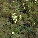 Sonst eher selten, hier bestandesdominierend: Schwefel-Anemonen<br />In natura wirkt ihre gelbe Farbe viel auffälliger als auf Fotos