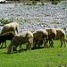 Schafs-Hinterteile im Hinteren Boden.