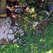 Unterhalb vom Wanderweg tummelten sich diverse Gamsen mit 4 Jungen im Wald.