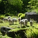 Schafe in Valle des Val di Tomè