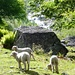 Schafe vor dem Ri di Tomè