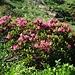 meine ersten Alpenrosen in dieser Saison - und dann gleich so ein wunderschönes Exemplar!