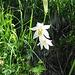 Paradisea liliastrum (L.) Bertol.<br />Asparagaceae<br /><br />Paradisia<br />Lis des Alpes, Paradisie<br />Weisse Trichterlilie, Paradieslilie