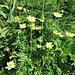 Pulsatilla alpina subsp. apiifolia (Scop.) Nyman<br />Ranunculaceae<br /><br />Pulsatilla sulfurea<br />Pulsatille soufrée, Pulsatille à feuilles d'ache<br />Schwefel-Anemone, Schwefel-Küchenschelle