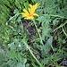 Arnica montana L.<br />Asteraceae<br /><br />Arnica<br />Arnica<br />Arnika