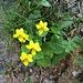 Viola biflora L.<br />Violaceae<br /><br />Viola montana gialla<br />Violette à deux fleurs<br />Gelbes Berg-Velichen, Zweiblütiges Velichen