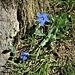 Gentiana brachyphylla Vill.<br />Gentianaceae<br /><br />Genziana a foglie brevi<br />Gentiane à feuilles courtes<br />Kurzblättriger Enzian