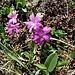 Primula integrifolia L.<br />Primulaceae<br /><br />Primula a foglie intere<br />Primèvere à feuilles entières<br />Ganzblättrige Primel