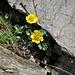 Geum reptans L.<br />Rosaceae<br /><br />Cariofillata delle pietraie<br />Benoite rampante<br />Kriechende Nelkenwurz