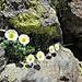 Ranunculus glacialis L.<br />Ranunculaceae<br /><br />Ranuncolo glaciale<br />Renoncule des glaciers<br />Gletscher-Hahnenfuss