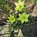 Pulsatilla alpina subsp. apiifolia (Scop.) Nyman<br />Ranunculaceae<br /><br />Pulsatilla sulfurea<br />Pulsatille soufrée, Pulsatille à feuilles d'ache<br />Schwefel-Anemone, Schwefel-Küchenschelle [Editare]<br />