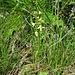 Platanthera bifolia (L.) Rich.<br />Orchidaceae<br /><br />Platantera comune<br />Platanthére à fleurs blanches, Platanthére à deux feuilles<br />Zweiblättriges Breitkölbchen, Weisses Breitkölbchen, Weisse Waldhyazinthe [Editare]<br />