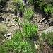 Phyteuma betoncifolium Vill.<br />Campanulaceae<br /><br />Raponzolo montano<br />Raiponce à feuilles de bétoine<br />Betonierblättrige Rapunzel