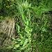 Centaurea nervosa Wild.<br />Asteraceae<br /><br />Fiordaliso alpino<br />Centaurée nervée<br />Federige Flockenblume