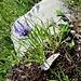 Phyteuma hemisphericum L.<br />Campanulaceae<br /><br />Raponzolo alpino<br />Raipoince hémisphérique<br />Halbkugelige Rapunzel, Halbkugelige Teufelskralle