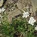 Achillea erba-rotta subsp. moschata (Wulfen) Vacc.<br />Asteraceae<br /><br />Millefoglio del granito<br />Achillée musquée<br />Moschus-Schafgarbe, Ivapflanze