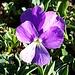 <b>Viola calcarata.</b>